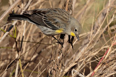 Curious warbler. Curious Yellow rumped Warbler in tall grass Royalty Free Stock Photo