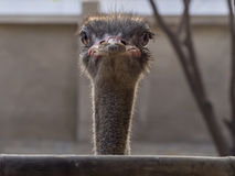 Curious watching ostrich Royalty Free Stock Images