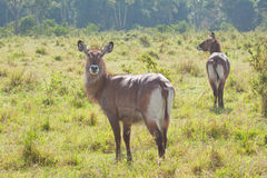 Curious Waterbuck Royalty Free Stock Images
