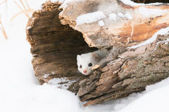 Curious weasel Stock Photography