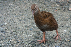 Curious weka Stock Photography