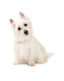 Curious West Highland Terrier Dog Sitting. A curious West Highland Terrier Dog sitting while tilting it head royalty free stock images