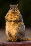 Curious Wet Fox Squirrel Royalty Free Stock Image
