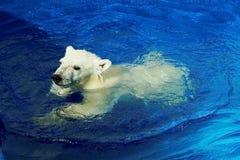 Curious white bear cub, Swimming lesson.A polar bear, a northern bear, a umka Lat. Ursus maritimus. Curious white bear cub, Swimming lesson. A polar bear, a stock photography
