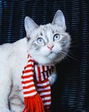 Curious white cat in striped scarf looking up close up, dark background. A curious white cat in striped scarf looking up close up, dark background royalty free stock image