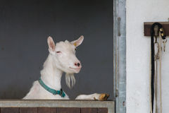 Curious White Goat standing on hind legs looks outside the stabl Royalty Free Stock Photos