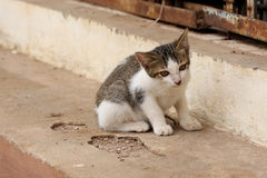 Curious white and gray striped kitten Royalty Free Stock Image