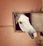 Curious white horse looking out stable window Stock Photos