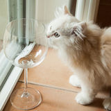 Curious White Kitten Smelling an Empty Wine Glass Stock Images