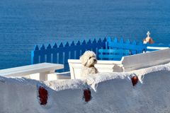 Curious white lapdog on white terrase in Oia, Santorini, Greece Stock Photo