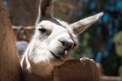 Curious white llama peering at the camera royalty free stock photo
