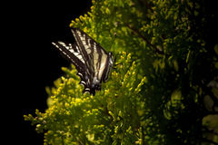 Curious white monarch butterfly. Closeup of a curious white monarch butterfly on a green shrub Royalty Free Stock Photography