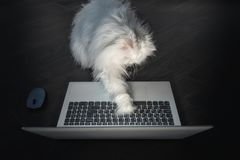Curious White Persian cat trying to use a laptop royalty free stock photo