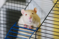 Curious white rat Royalty Free Stock Photo