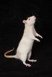Curious white rat royalty free stock photo