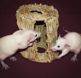 Curious White Rats Investigating Hay Chew Hut. Two curious white rats investigating a hay chew hut Royalty Free Stock Photography