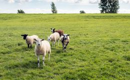 Small group of sheep in a Dutch meadow Stock Images