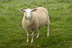 Curious White Sheep Stock Images