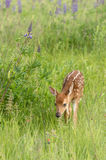 Curious White-Tailed Deer Fawn Odocoileus virginianus Steps Fo Royalty Free Stock Image