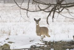 Curious Whitetail. Female whitetail looking over an old stone foundation of a barn in Michigan Stock Photos
