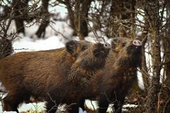 Wild boar youngsters in winter Stock Images