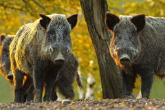 Curious wild boars Stock Image
