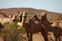 Curious wild camels. Herd of curious wild camels looking at camera. Alice Springs, Northern Territory, Australia Royalty Free Stock Images