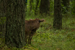 A curious wild cows in a forest. Mother cows with calf. Stock Photos