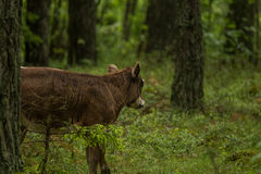 A curious wild cows in a forest. Mother cows with calf. Stock Images