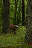 A curious wild cows in a forest. Mother cows with calf. Royalty Free Stock Images