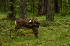 A curious wild cows in a forest. Mother cows with calf. Royalty Free Stock Photography