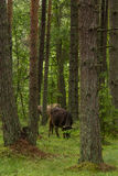 A curious wild cows in a forest. Mother cows with calf. Royalty Free Stock Image