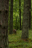 A curious wild cows in a forest. Mother cows with calf. Stock Image