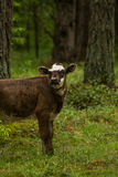 A curious wild cows in a forest. Mother cows with calf. Stock Photography