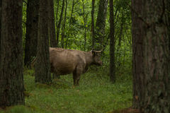 A curious wild cows in a forest. Mother cows with calf. Royalty Free Stock Photos