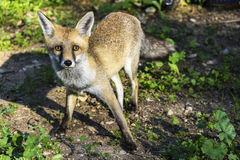 Curious wild fox. Just a curious wild fox approaching to humans royalty free stock photography