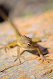 Curious wild lizard Royalty Free Stock Image