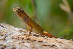 Curious wild lizard Stock Photography