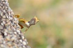 Curious wild lizard Stock Images
