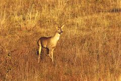 Curious wild roe deer doe Royalty Free Stock Images