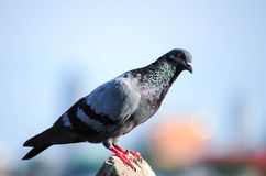 A Curious Wood Pigeon Stock Image
