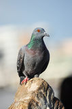 A Curious Wood Pigeon (Columba palumbus) Perched on a Log Royalty Free Stock Image