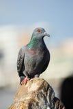 A Curious Wood Pigeon (Columba palumbus) Perched on a Log Royalty Free Stock Image