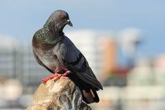 A Curious Wood Pigeon (Columba palumbus) Perched on a Log Royalty Free Stock Photos