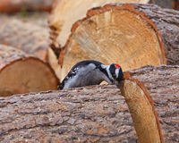 Curious Woodpecker Royalty Free Stock Photography