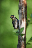 Curious woodpecker Stock Images
