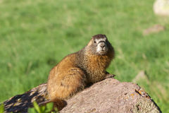 Curious Yellow-bellied Marmot Stock Image