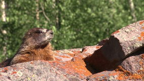 Curious Yellow-bellied Marmot stock video