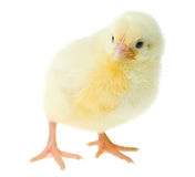 Curious yellow chicken Stock Images