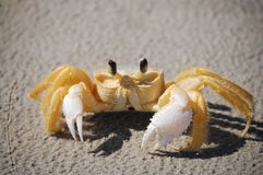 Curious Yellow Crab Royalty Free Stock Photo